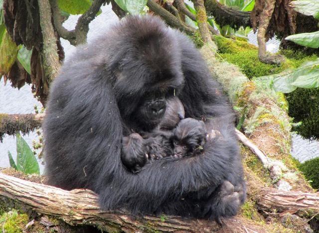 戴安·福茜arton,卢旺达母黑猩猩产双胞胎50年来仅三对