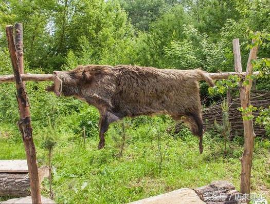 野猪皮是什么意思,努尔哈赤一家子,为什么喜欢用动物名字取名?