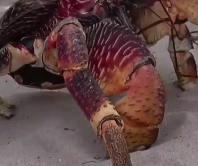 市场上的椰子蟹,为什么卖这么贵?做好掰开一看,贵是有道理