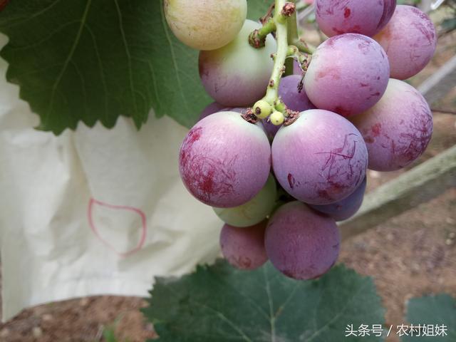 葡萄色影,葡萄現在快成熟了,正是轉色時期,在葡萄轉色期要注意什么呢?