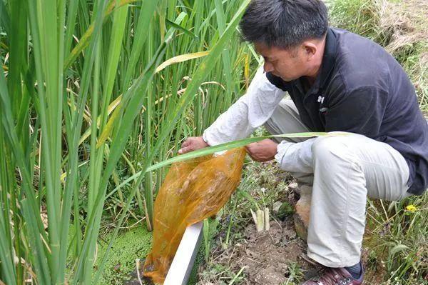 """岳西一乡镇探索茭白甲鱼""""搭档"""",鼓了农户钱袋子"""