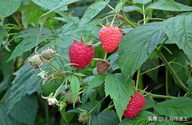 春天里最美味的野果覆盆子