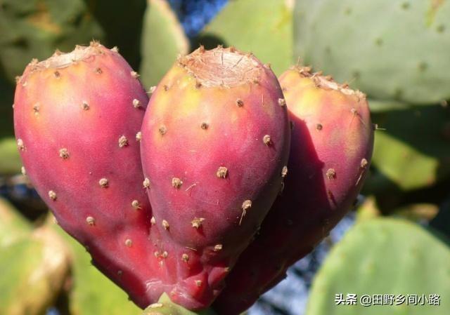 5种少见水果,长相古怪却意外好吃,菠萝莓口感香甜美味